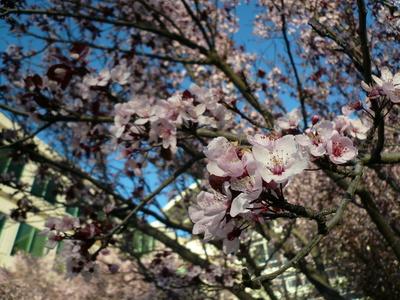 Apple 本社前の桜。ちょうど満開でした